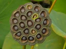 native plants at csu dominguez dried lotus seed pod u2013 www nature u0027s patterns pinterest lotus