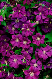 125 best garden climbing plants images on pinterest clematis
