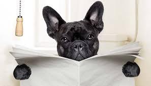 boxer dog umbrella ibd in dogs how to cure inflammatory bowel disease u2013 nextgen dog