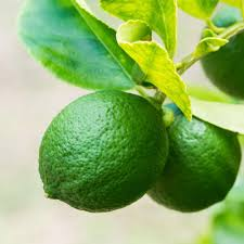 lime tree fruit trees plants edible garden the home depot