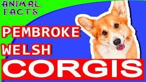 corgi pembroke welsh corgi dogs 101 corgi dog pembroke u2013 animal facts