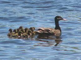 file black duck female and ducklings jpg wikimedia commons