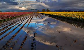 Skagit Valley Tulip Festival Bloom Map Tulip Festival North Western Images Photos By Andy Porter