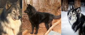 belgian shepherd hypoallergenic native american village dogs frequently asked questions