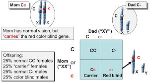 How Is Color Blindness Caused Mendelian Patterns Of Inheritance