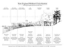 native plant solutions wetland plants in new england new england wetland plants