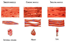 Anatomy And Physiology The Muscular System Types Of Muscle Muscular System Lindastorm Net