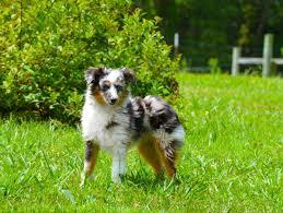australian shepherd knoxville tn kidd u0027s toy aussies