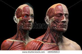 Female Muscles Anatomy Anatomy Face Muscle Stock Images Royalty Free Images U0026 Vectors