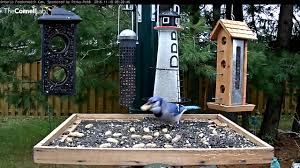 picking up peanuts the way of the blue jay nov 10 2016 youtube
