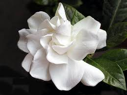 100 gardenia flower white common gardenia or cape jasmine