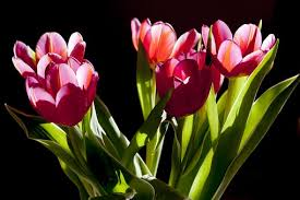 Images Of Tulip Flowers - tulips free pictures on pixabay