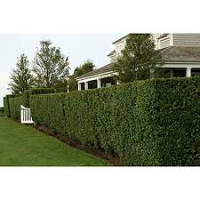Backyard Privacy Trees Planting Privacy Garden Housecalls Privacy Trees For Backyard