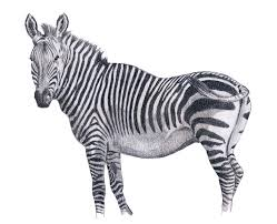 cape mountain zebra by willemsvdmerwe on deviantart