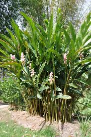 sweet viburnum 200mm pot viburnum 21 best garden images on pinterest native gardens australian