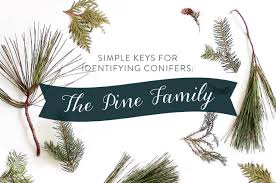 simple keys for identifying conifers the pine family u2013 playful