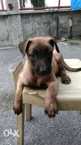belgian malinois puppies for sale 2016 belgian malinois puppy for sale philippines find new and used