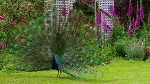 images of beautiful gardens beautiful peacock gardens tasmania youtube