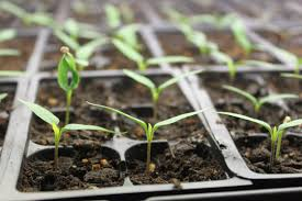 the keys to starting vegetable seeds indoors spring is near