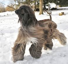 afghan hound dogs 101 wet afghan hound dog picture