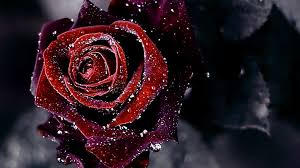 Black Rose Flower Black Roses Background