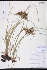 florida native aquatic plants cyperus blepharoleptos species page isb atlas of florida plants