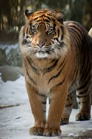 best 25 siberian tiger ideas on pinterest white tiger pictures