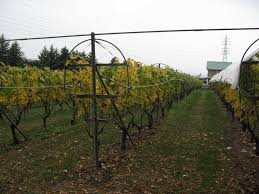 panoramio photo of grapevine trellis mannswines komoro winery