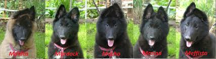 belgian sheepdog groenendael puppies for sale untitled document