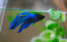 Home Blue Fish A Siamese Fighting Fish Named Bob And Two Kitties Named Sherlock