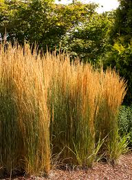 ornamental grasses give a lively look to fall landscapes