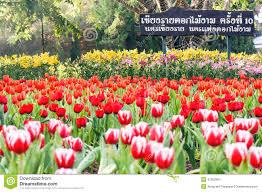 flora festival flower winter chiang rai thailand editorial photo