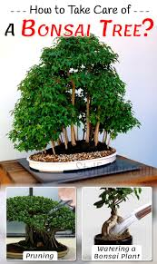 how to take care of a bonsai tree with necessary steps