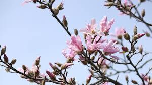 download wallpaper 3840x2160 magnolia flowering branch sky