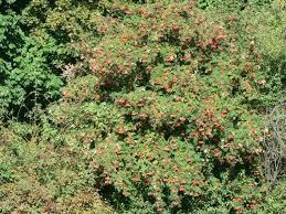 free picture rowan tree berries