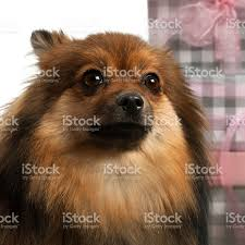closeup of pomeranian 2 years old with christmas gifts stock photo