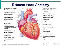 Gross Anatomy Of The Human Heart Anatomy Of A Human Heart Awesome Anatomy Of The Heart Exercise 20