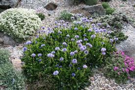 globularia trichosantha north american rock garden society