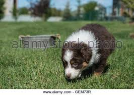 australian shepherd dog puppies seven week old red tri australian shepherd puppy with red merle