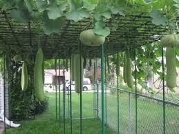 Backyard Vegetable Garden Ideas Bottle Gourd Squash Growing In Backyard Vegetable Garden Of Troy