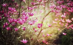 the noble magnolia branches bloom photography wallpaper 14