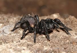 australian funnel web spider wikipedia