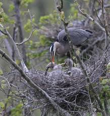 Pennsylvania wildlife images Pennsylvania game commission conducts heron colony survey jpg