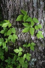 Non Invasive Climbing Plants - identifying invasive plants