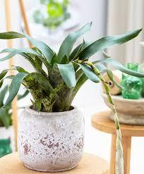 buy house plants now vriesea u0027lacy u0027 bakker com