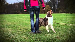 australian shepherd jobs australian shepherd brandy dog tricks video youtube