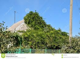 the flower vine wrapped the house up to the roof home decorative