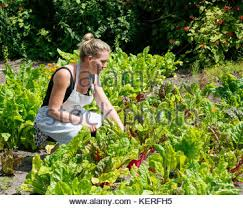 Organic Kitchen Gardening - in the organic kitchen garden harvesting of onions bulbs beans
