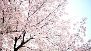 pink japanese cherry blossom trees fruit tree shinjuku