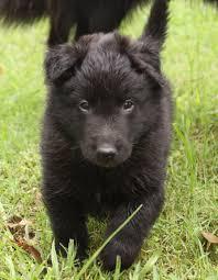 belgian sheepdog training groenendael u2013 black belgian shepherd belgians sheepdogs of all
